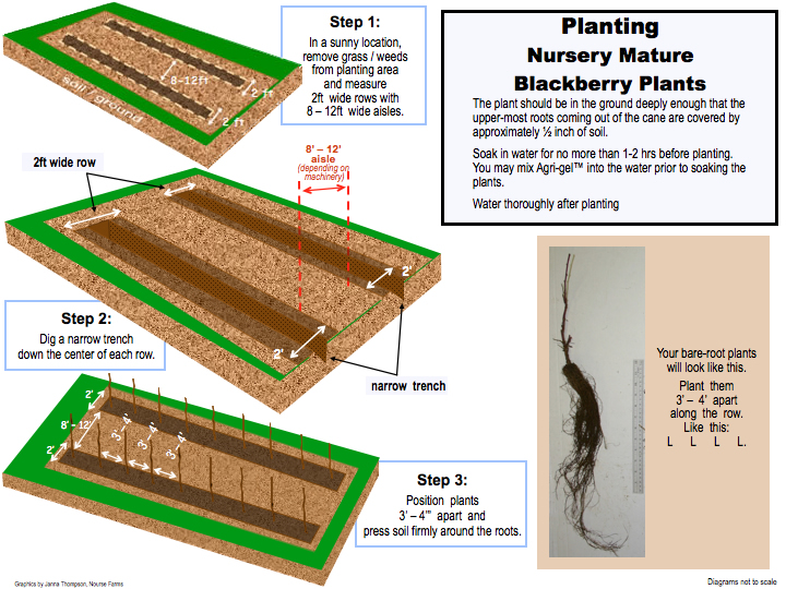 blackberry planting