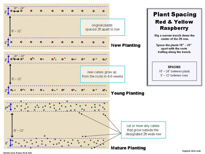 Bristol Raspberry Plant Small Fruit Plants Shipped From