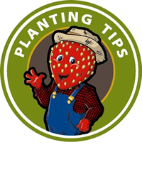 Berry Planting Tips