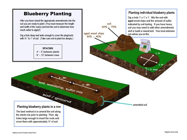 blueberry planting