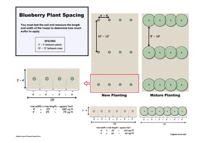 blueberry spacing
