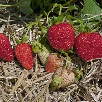 Albion Everbearing  (Day Neutrals) Strawberry Plants