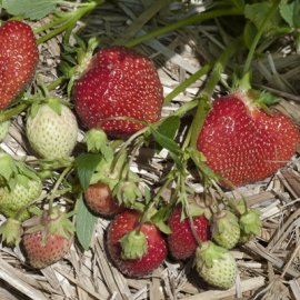 Allstar Strawberry Plants June Bearing (Mid Season) Strawberry Plants