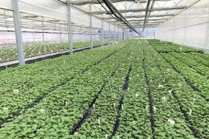 Strawberry Plug Plants Now Available