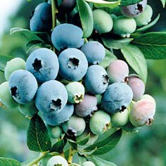 Bluecrop Blueberry Plants Mid Season