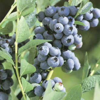 Bluegold Mid Season Blueberry Plants
