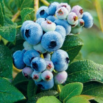 All Season Blueberry Collection Blueberry