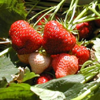 Clancy June Bearing (Late Mid Season) Strawberry Plants
