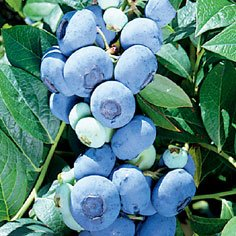 Darrow Blueberry Plants Late Mid Season