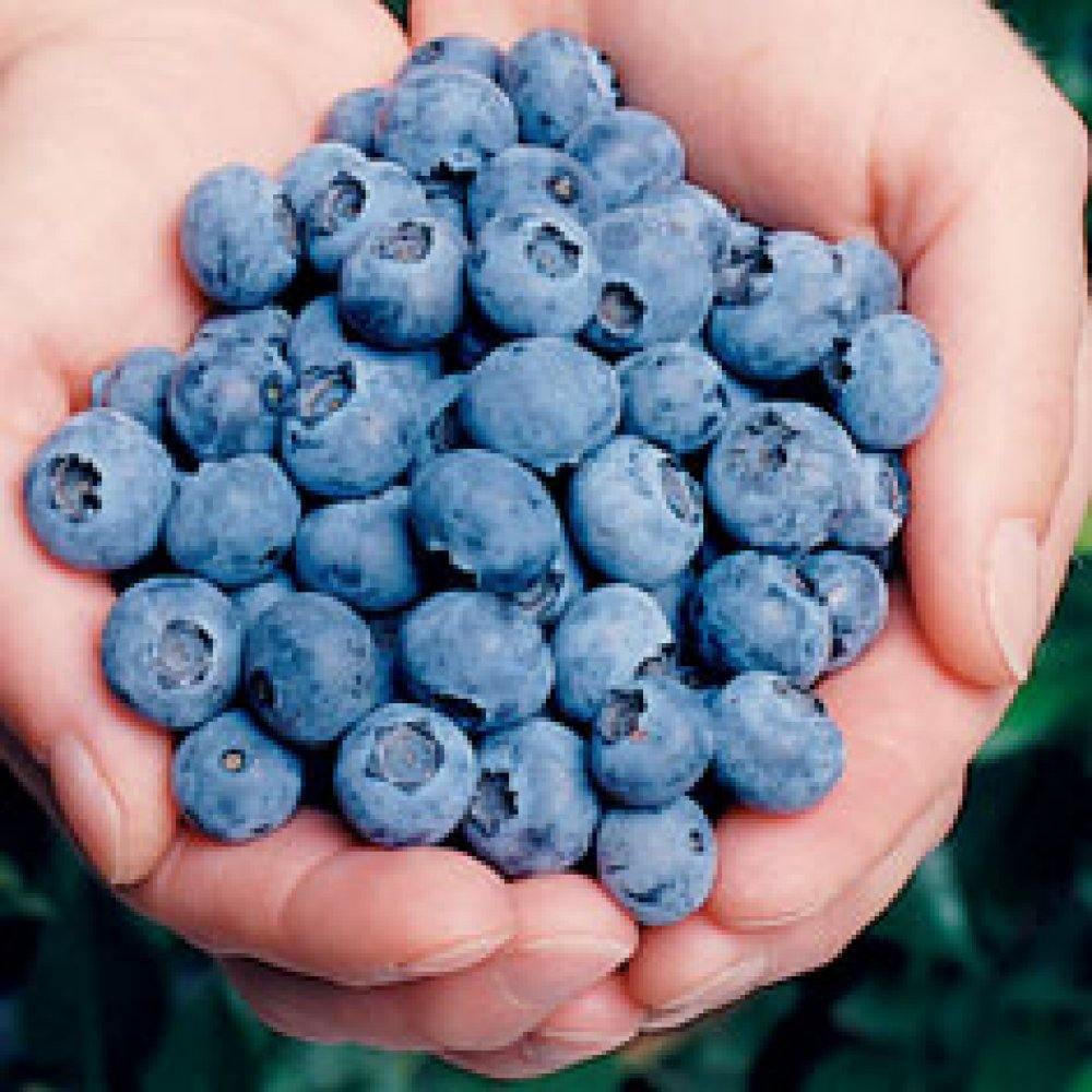 Elliott Blueberry Plant