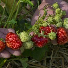 Flavorfest Strawberry Plants June Bearing (Mid Season) Strawberry Plants