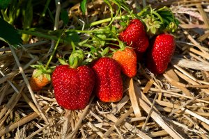 Day Neutral Strawberry Production - the Ins and Outs