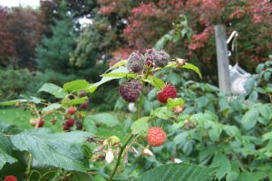 Bramble Pests - The OTHER top 5