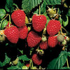 Himbo Top ® raspberry plants Fall Bearing Raspberry Plants