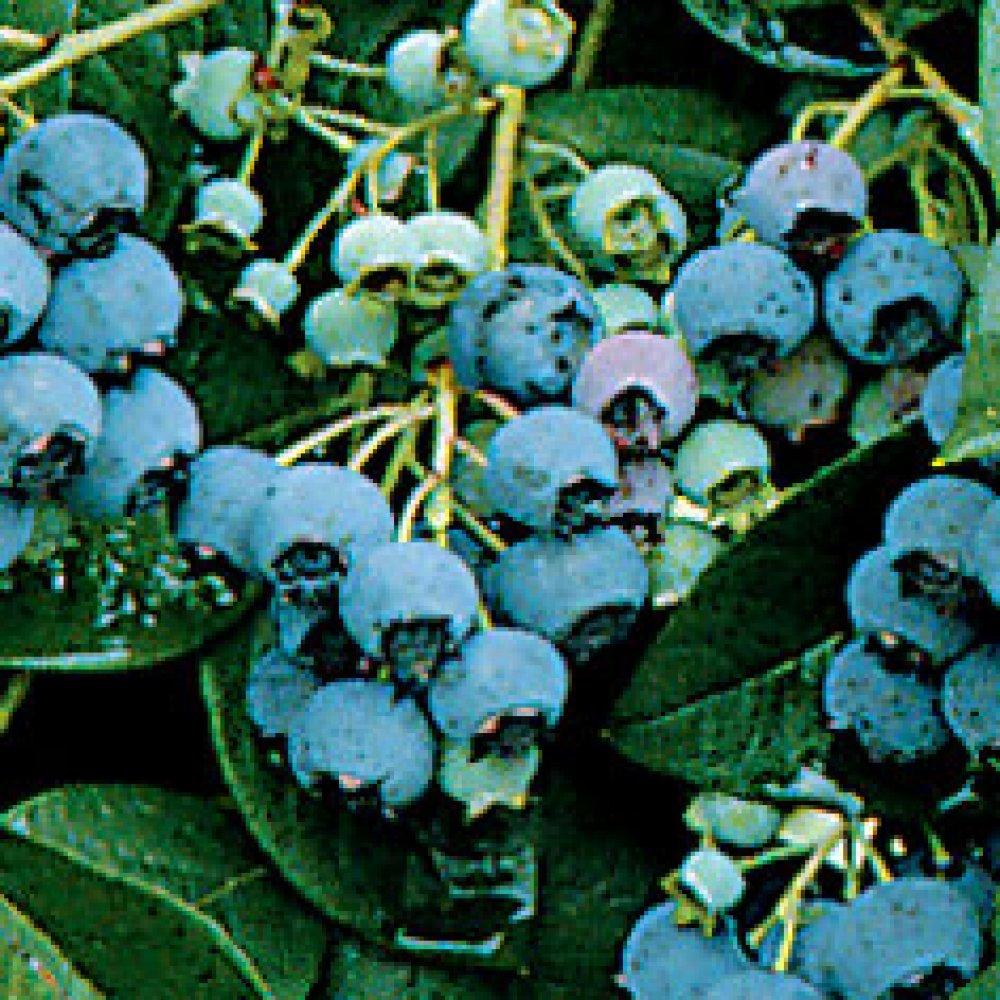 Late Season Blueberry Plants
