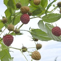 Josephine Raspberry Plants Fall Bearing Raspberry Plants