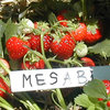 Mesabi Strawberry Plants
