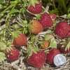 Mara Des Bois strawberry plants Everbearing  (Day Neutrals) Strawberry Plants