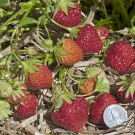 Mara Des Bois Everbearing  (Day Neutrals) Strawberry Plants Everbearing  (Day Neutrals) Strawberry Plants