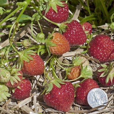 mara des bois strawberry plant small fruit plants shipped from nourse farms. Black Bedroom Furniture Sets. Home Design Ideas