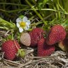 Monterey strawberry plants Everbearing  (Day Neutrals) Strawberry Plants