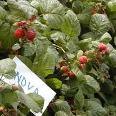 Nova Raspberry Plants Summer Bearing (Mid Season) Raspberry Plants