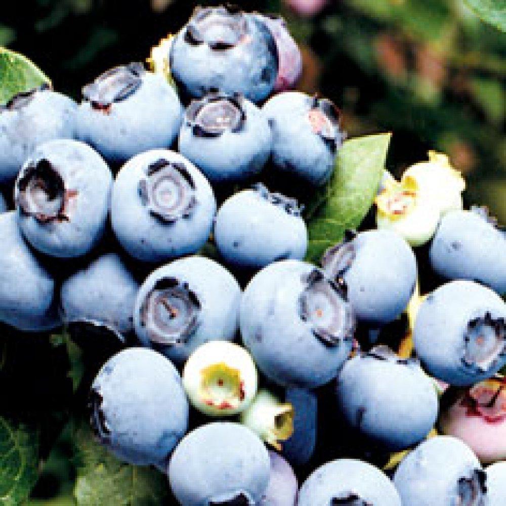 Northland Blueberry Plant