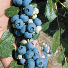 Patriot Blueberry Plants Early Season