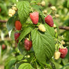 Polka Raspberry Plants