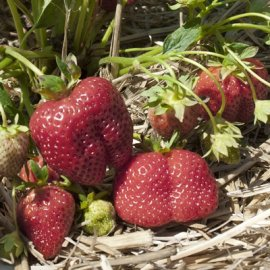 Portola Everbearing  (Day Neutrals) Strawberry Plants Everbearing  (Day Neutrals) Strawberry Plants