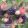 Prime Ark® 45 Blackberry Plants Fall Bearing Blackberry Plants