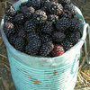 Prime Jim Blackberry Plants Fall Bearing Blackberry Plants