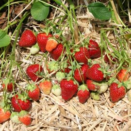 Rutgers Scarlet™ Strawberry Plants June Bearing (Late Mid Season) Strawberry Plants