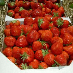 Record Strawberry Plants June Bearing (Late Season) Strawberry Plants