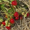 Rubicon strawberry plants June Bearing (Mid Season) Strawberry Plants