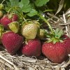 Sonata strawberry plants June Bearing (Mid Season) Strawberry Plants
