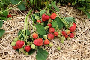 Prepare your strawberry plants for winter