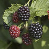 Triple Crown Blackberry Plants