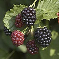 Triple Crown Blackberry Plants Summer Bearing