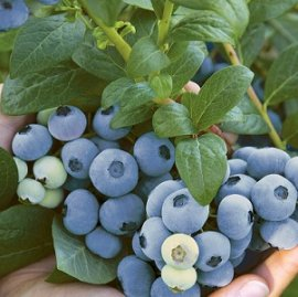 Top Shelf Blueberry Plants Mid Season