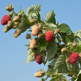 BP-1 Raspberry Plants Fall Bearing Raspberry Plants