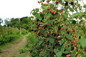 Bramble Pruning  - - - we've got your back