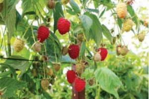 Raspberry Plant selection still good!