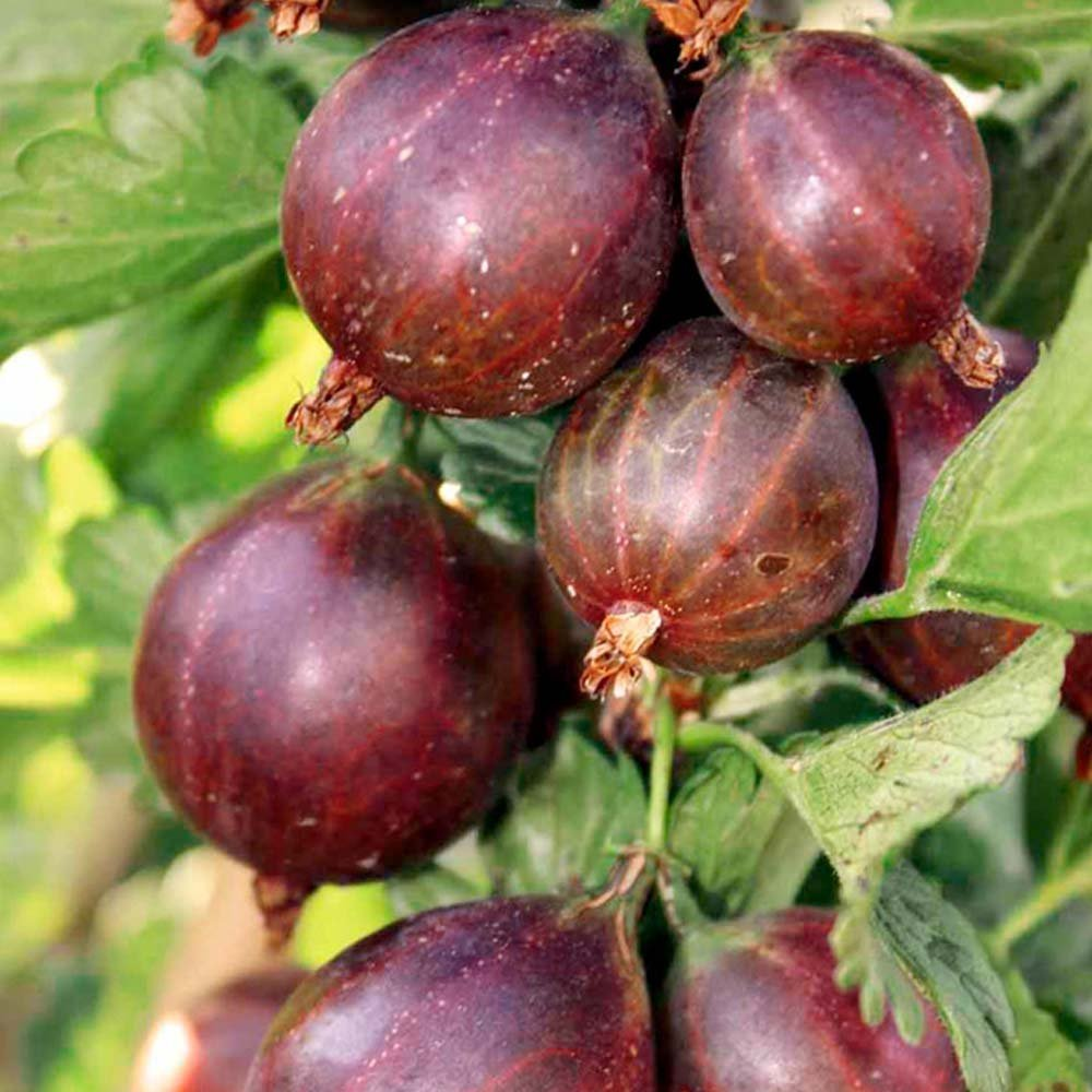 Gooseberries dates: a description of the variety, features of cultivation, reviews