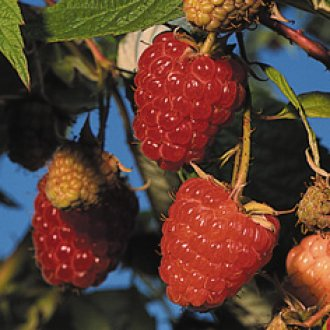 All Season Superpack Raspberry Collection Raspberry