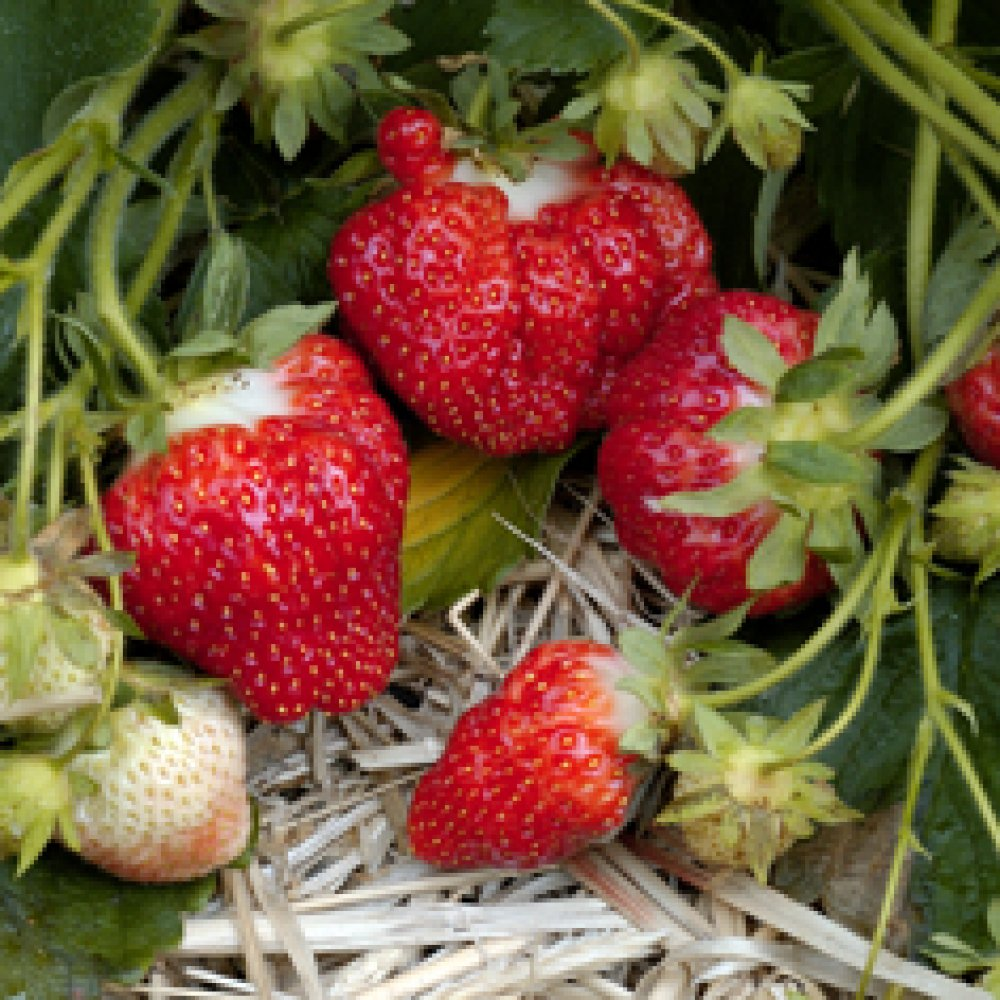 Strawberry Plants - Best selection and highest quality at Nourse ...