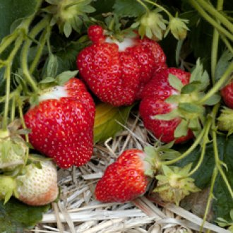 Chandler June Bearing (Mid Season) Strawberry Plants