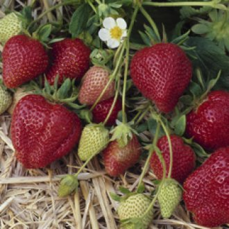 Darselect June Bearing (Mid Season) Strawberry Plants
