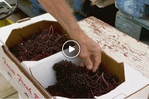 Elderberries for a healthy Immune System