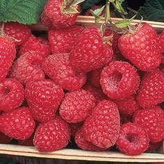 Encore Summer Bearing (Late Mid Season) Raspberry Plants Summer Bearing (Late Mid Season) Raspberry Plants